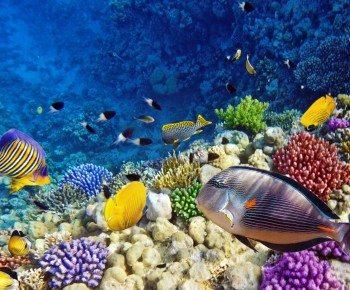 الشعاب المرجانية في البحر الأحمر
